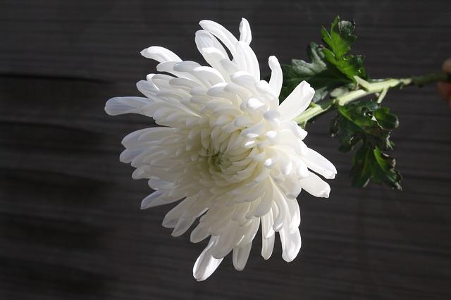 chrysanthemum-1628511_640
